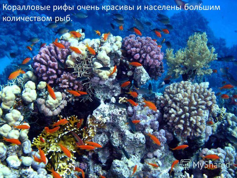 Коралловые рифы очень красивы и населены большим количеством рыб.