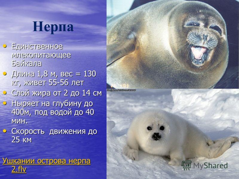 Нерпа Единственное млекопитающее Байкала Единственное млекопитающее Байкала Длина 1,8 м, вес = 130 кг, живет 55-56 лет Длина 1,8 м, вес = 130 кг, живет 55-56 лет Слой жира от 2 до 14 см Слой жира от 2 до 14 см Ныряет на глубину до 400м, под водой до