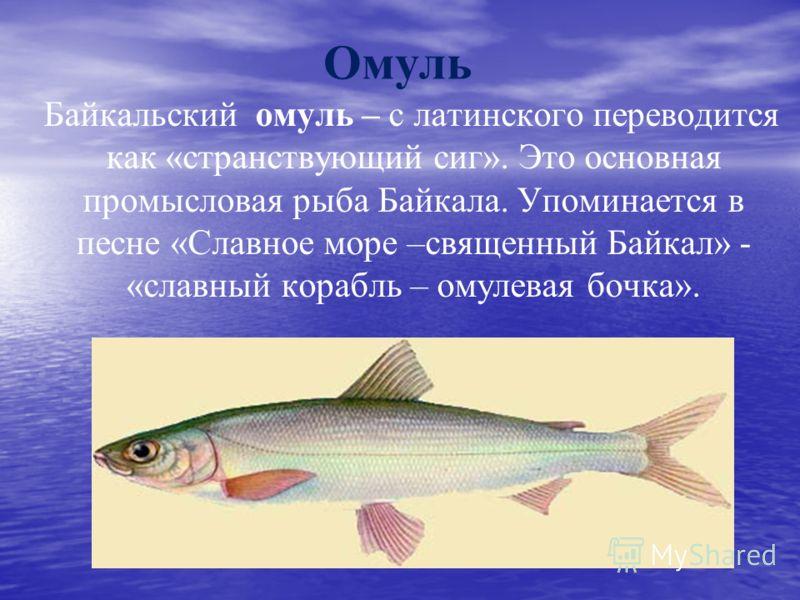 Омуль Байкальский омуль – с латинского переводится как «странствующий сиг». Это основная промысловая рыба Байкала. Упоминается в песне «Славное море –священный Байкал» - «славный корабль – омулевая бочка».