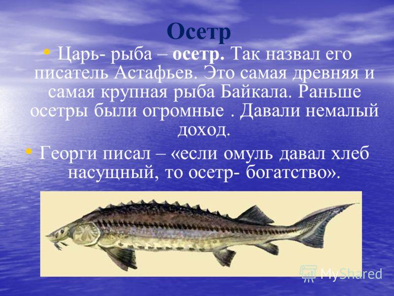 Осетр Царь- рыба – осетр. Так назвал его писатель Астафьев. Это самая древняя и самая крупная рыба Байкала. Раньше осетры были огромные. Давали немалый доход. Георги писал – «если омуль давал хлеб насущный, то осетр- богатство».