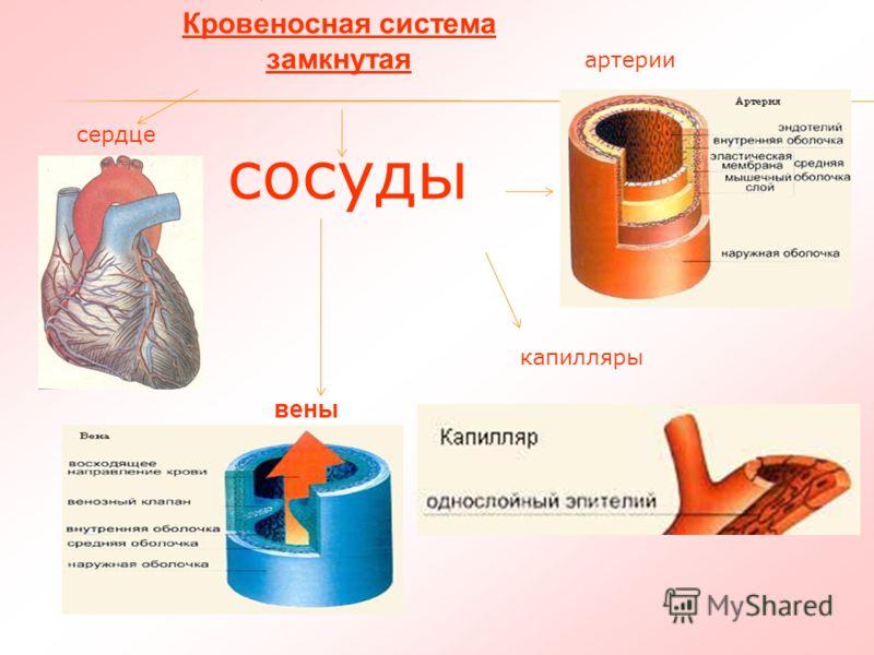 Кровообращение Кровеносная система замкнутая вены сердце артерии капилляры сосуды