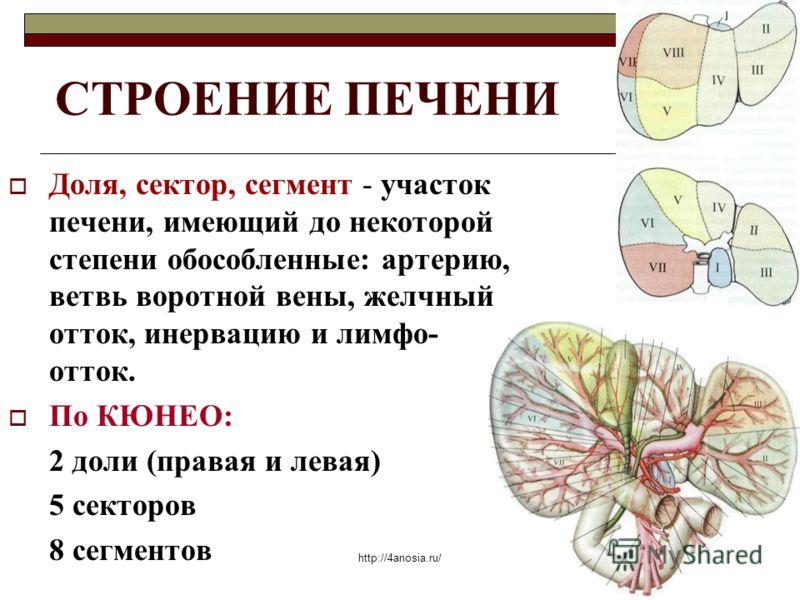 СТРОЕНИЕ ПЕЧЕНИ Доля, сектор, сегмент - участок печени, имеющий до некоторой степени обособленные: артерию, ветвь воротной вены, желчный отток, инервацию и лимфо- отток. По КЮНЕО: 2 доли (правая и левая) 5 секторов 8 сегментов http://4anosia.ru/