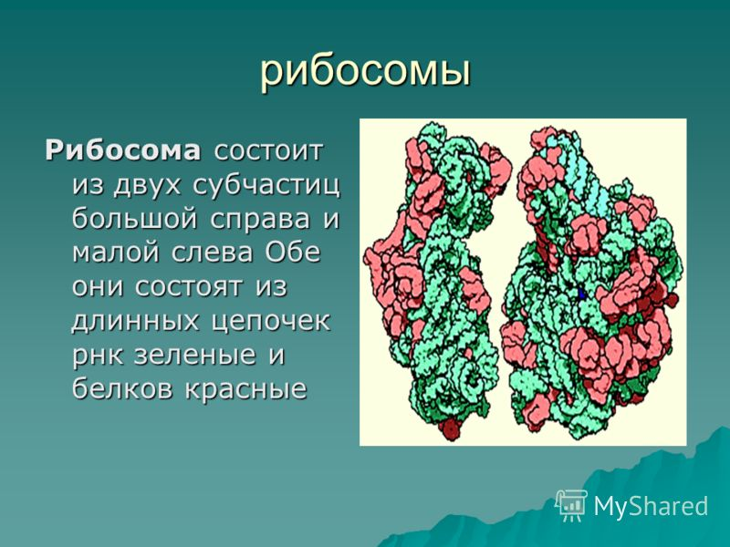 рибосомы Рибосома состоит из двух субчастиц большой справа и малой слева Обе они состоят из длинных цепочек рнк зеленые и белков красные