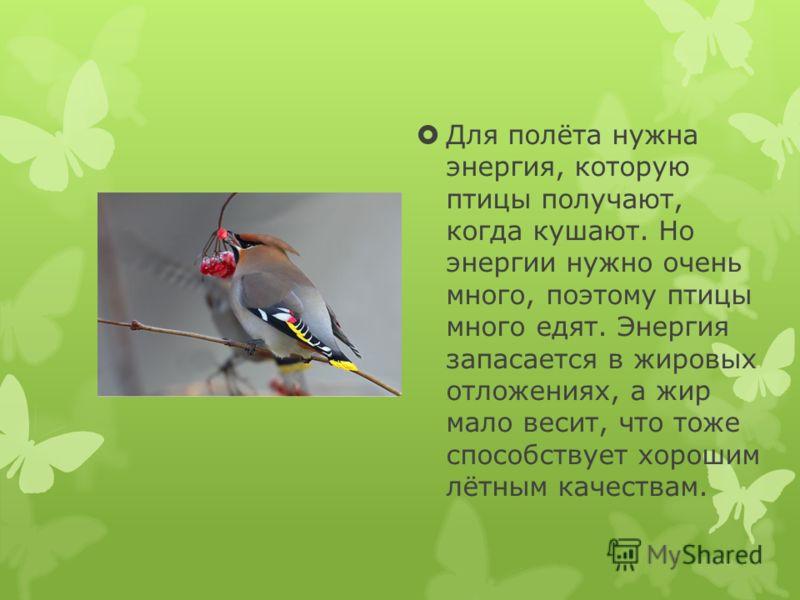 Для полёта нужна энергия, которую птицы получают, когда кушают. Но энергии нужно очень много, поэтому птицы много едят. Энергия запасается в жировых отложениях, а жир мало весит, что тоже способствует хорошим лётным качествам.