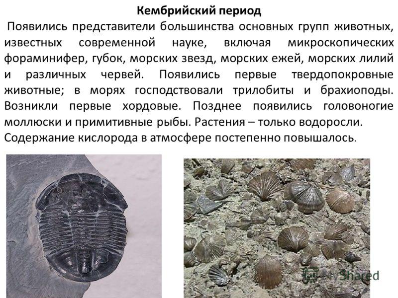 Кембрийский период Появились представители большинства основных групп животных, известных современной науке, включая микроскопических фораминифер, губок, морских звезд, морских ежей, морских лилий и различных червей. Появились первые твердопокровные