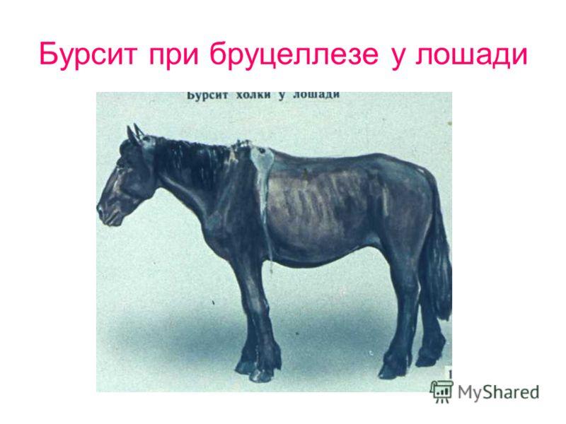 Бурсит при бруцеллезе у лошади