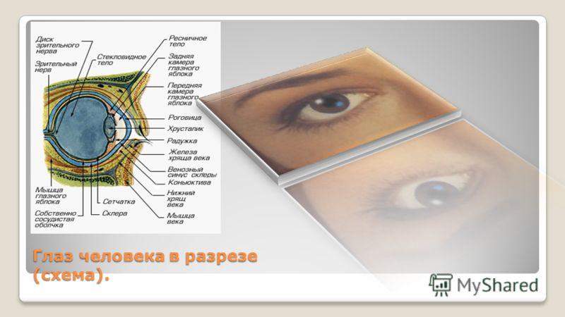 Глаз человека в разрезе (схема).