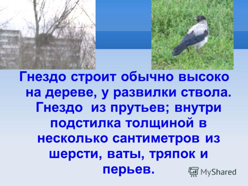 Гнездо строит обычно высоко на дереве, у развилки ствола. Гнездо из прутьев; внутри подстилка толщиной в несколько сантиметров из шерсти, ваты, тряпок и перьев.