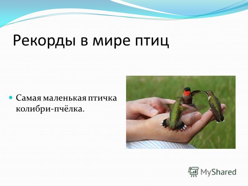 Рекорды в мире птиц Самая маленькая птичка колибри-пчёлка.