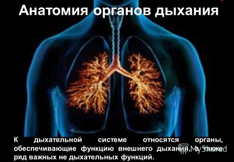 Анатомия органов дыхания К дыхательной системе относятся органы, обеспечивающие функцию внешнего дыхания, а также ряд важных не дыхательных функций.
