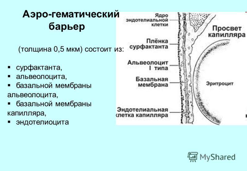 Аэро-гематический барьер (толщина 0,5 мкм) состоит из: сурфактанта, альвеолоцита, базальной мембраны альвеолоцита, базальной мембраны капилляра, эндотелиоцита