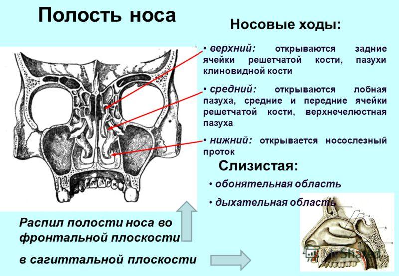 Полость носа Распил полости носа во фронтальной плоскости в сагиттальной плоскости верхний: открываются задние ячейки решетчатой кости, пазухи клиновидной кости средний: открываются лобная пазуха, средние и передние ячейки решетчатой кости, верхнечел