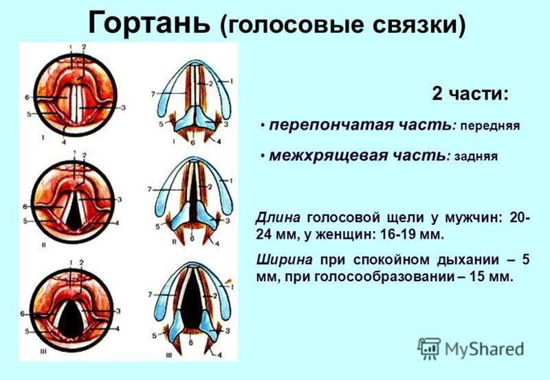 Гортань (голосовые связки) перепончатая часть : передняя межхрящевая часть : задняя 2 части: Длина голосовой щели у мужчин: 20- 24 мм, у женщин: 16-19 мм. Ширина при спокойном дыхании – 5 мм, при голосообразовании – 15 мм.