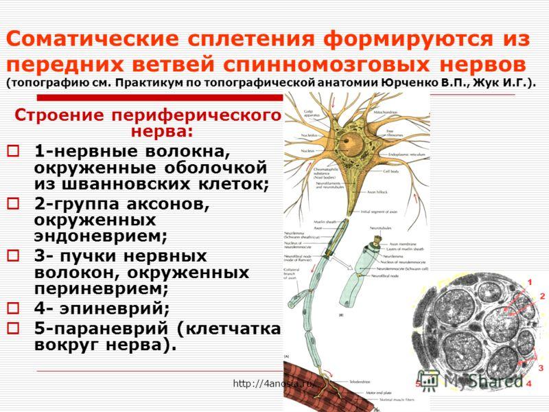 Соматические сплетения формируются из передних ветвей спинномозговых нервов (топографию см. Практикум по топографической анатомии Юрченко В.П., Жук И.Г.). Строение периферического нерва: 1-нервные волокна, окруженные оболочкой из шванновских клеток;