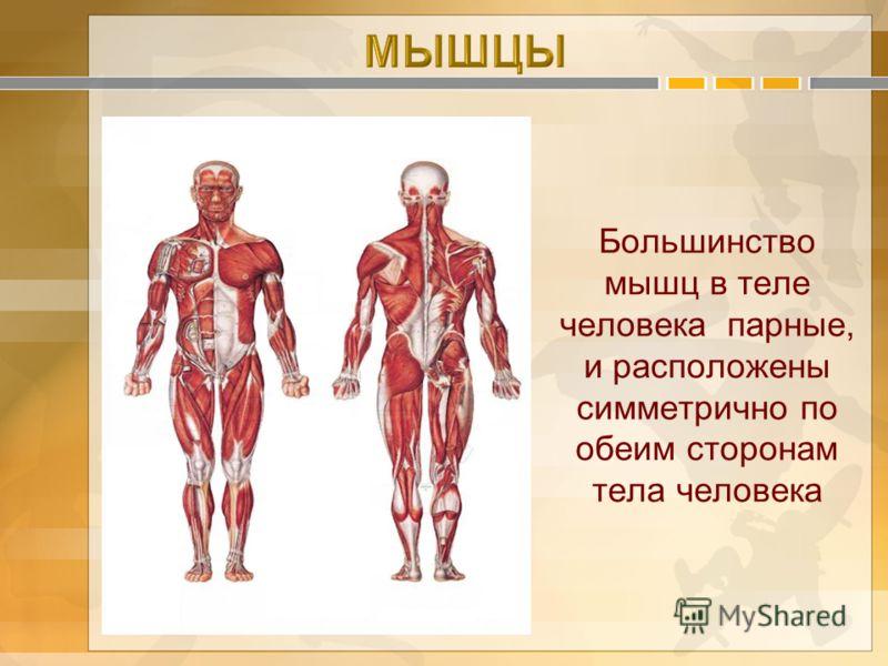 Большинство мышц в теле человека парные, и расположены симметрично по обеим сторонам тела человека