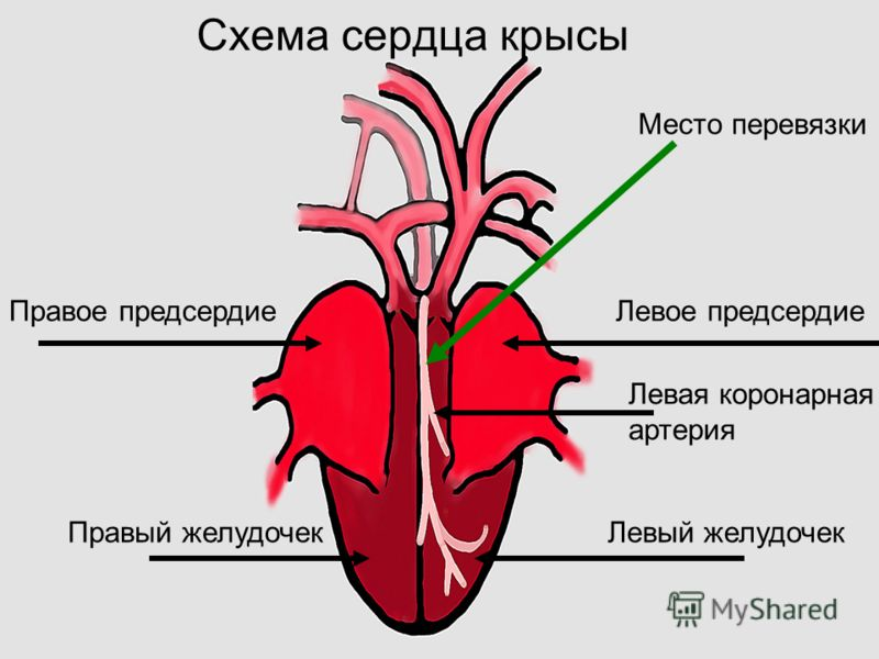 Схема сердца крысы Правый