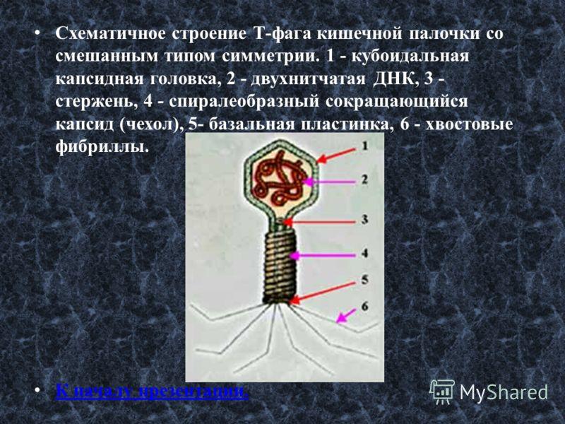 Схематичное строение Т-фага кишечной палочки со смешанным типом симметрии. 1 - кубоидальная капсидная головка, 2 - двухнитчатая ДНК, 3 - стержень, 4 - спиралеобразный сокращающийся капсид (чехол), 5- базальная пластинка, 6 - хвостовые фибриллы. К нач