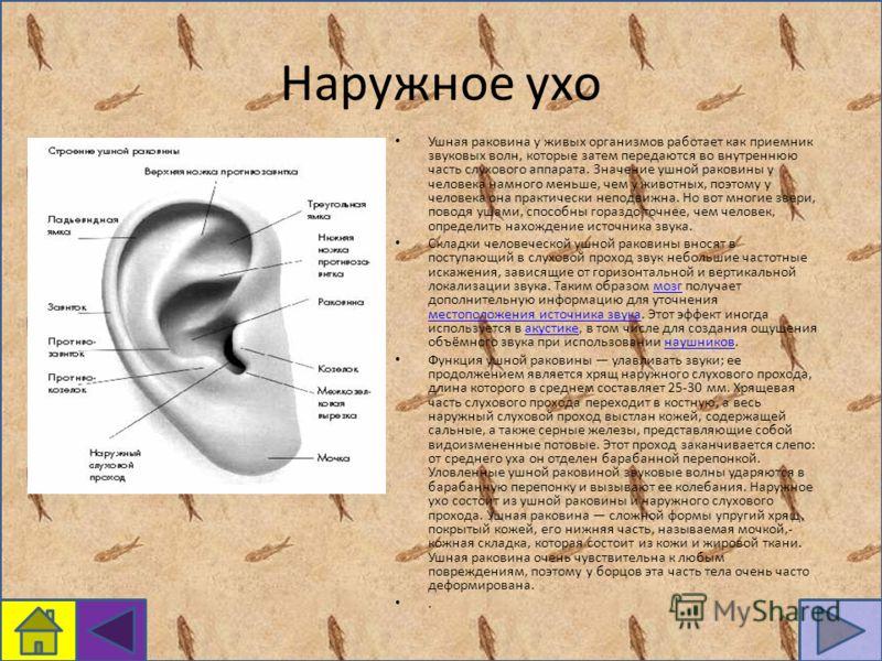 Наружное ухо Ушная раковина у живых организмов работает как приемник звуковых волн, которые затем передаются во внутреннюю часть слухового аппарата. Значение ушной раковины у человека намного меньше, чем у животных, поэтому у человека она практически
