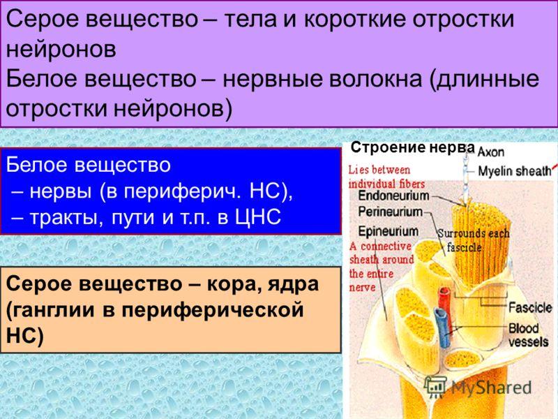 Серое вещество – тела и короткие отростки нейронов Белое вещество – нервные волокна (длинные отростки нейронов) Серое вещество – кора, ядра (ганглии в периферической НС) Белое вещество – нервы (в периферич. НС), – тракты, пути и т.п. в ЦНС Строение н