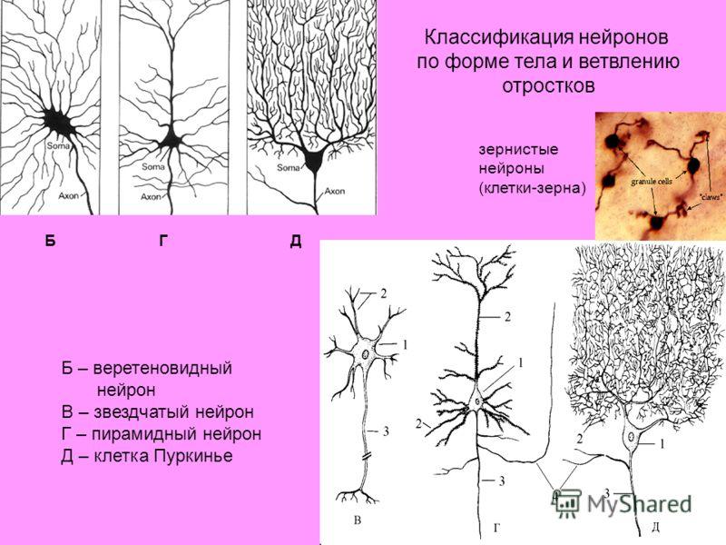 Б – веретеновидный нейрон В – звездчатый нейрон Г – пирамидный нейрон Д – клетка Пуркинье БГД Классификация нейронов по форме тела и ветвлению отростков зернистые нейроны (клетки-зерна)