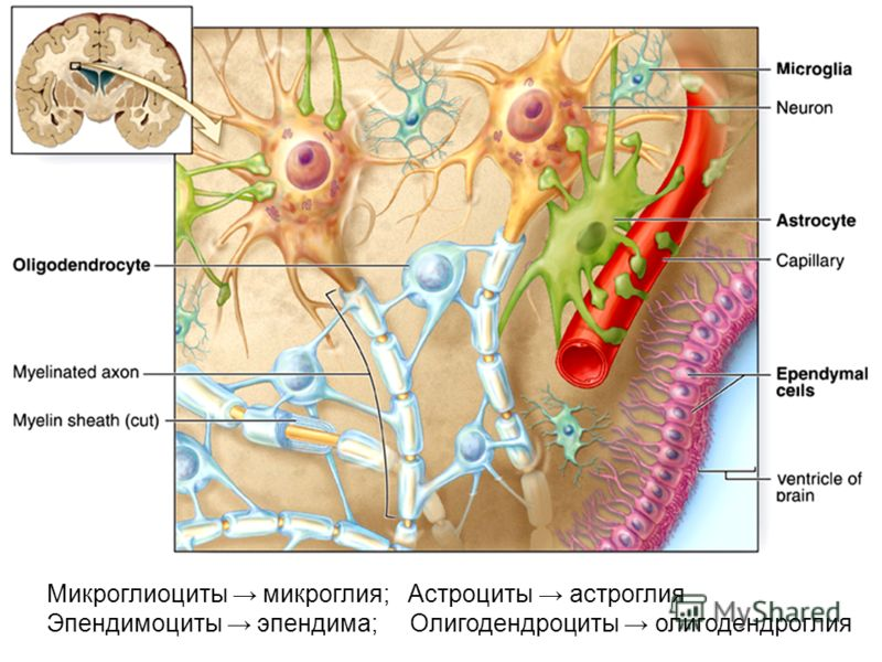Микроглиоциты микроглия; Астроциты астроглия Эпендимоциты эпендима; Олигодендроциты олигодендроглия