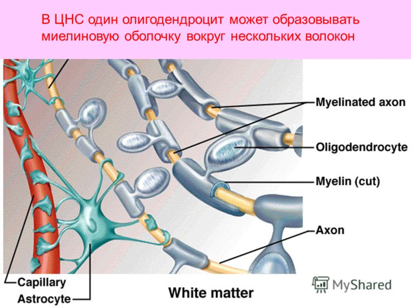 В ЦНС один олигодендроцит может образовывать миелиновую оболочку вокруг нескольких волокон