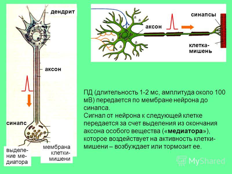 синапс синапсы клетка- мишень мембрана клетки- мишени аксон дендрит аксон выделе- ние ме- диатора ПД (длительность 1-2 мс, амплитуда около 100 мВ) передается по мембране нейрона до синапса. Сигнал от нейрона к следующей клетке передается за счет выде
