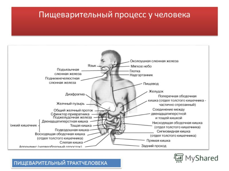 Пищеварительный процесс у человека ПИЩЕВАРИТЕЛЬНЫЙ ТРАКТЧЕЛОВЕКА