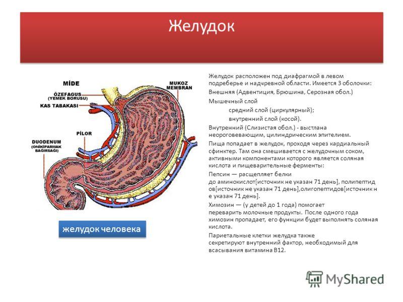 Желудок Желудок расположен под диафрагмой в левом подреберье и надчревной области. Имеется 3 оболочки: Внешняя (Адвентиция, Брюшина, Серозная обол.) Мышечный слой средний слой (циркулярный); внутренний слой (косой). Внутренний (Слизистая обол.) - выс