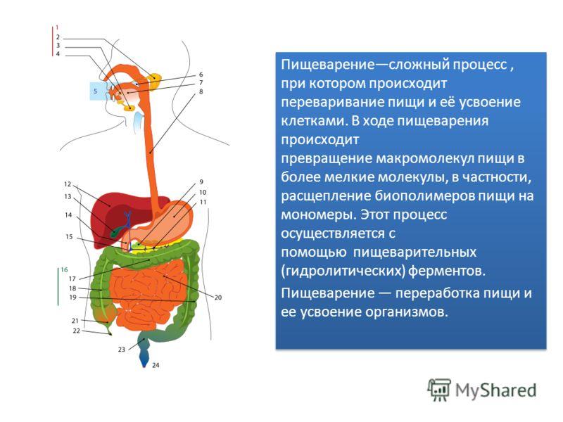 Пищеварениесложный процесс, при котором происходит переваривание пищи и её усвоение клетками. В ходе пищеварения происходит превращение макромолекул пищи в более мелкие молекулы, в частности, расщепление биополимеров пищи на мономеры. Этот процесс ос