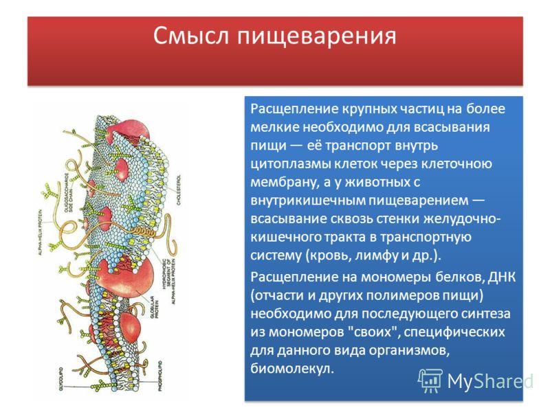 Смысл пищеварения Расщепление крупных частиц на более мелкие необходимо для всасывания пищи её транспорт внутрь цитоплазмы клеток через клеточною мембрану, а у животных с внутрикишечным пищеварением всасывание сквозь стенки желудочно- кишечного тракт