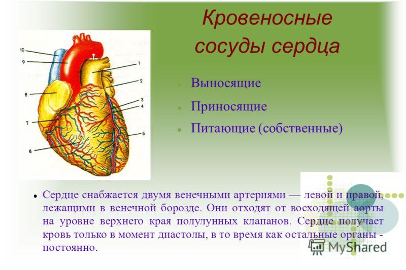 Кровеносные сосуды сердца Выносящие Приносящие Питающие (собственные) Сердце снабжается двумя венечными артериями левой и правой, лежащими в венечной борозде. Они отходят от восходящей аорты на уровне верхнего края полулунных клапанов. Сердце получае