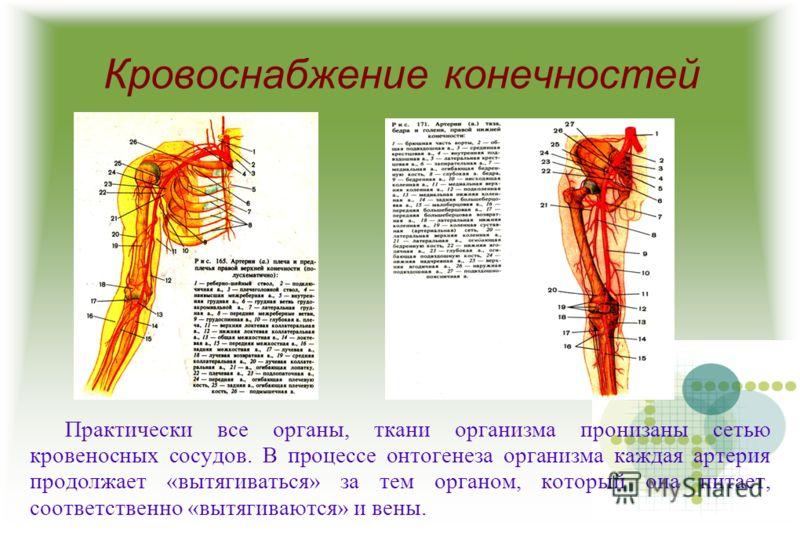 Кровоснабжение конечностей Практически все органы, ткани организма пронизаны сетью кровеносных сосудов. В процессе онтогенеза организма каждая артерия продолжает «вытягиваться» за тем органом, который она питает, соответственно «вытягиваются» и вены.