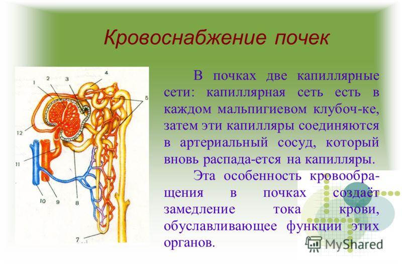 Кровоснабжение почек В почках две капиллярные сети: капиллярная сеть есть в каждом мальпигиевом клубоч-ке, затем эти капилляры соединяются в артериальный сосуд, который вновь распада-ется на капилляры. Эта особенность кровообра- щения в почках создаё