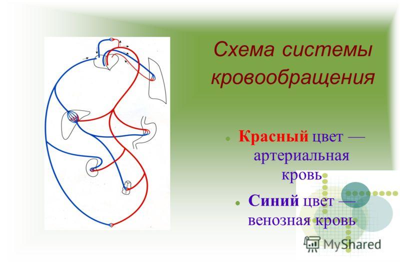 Схема системы кровообращения Красный цвет артериальная кровь Синий цвет венозная кровь