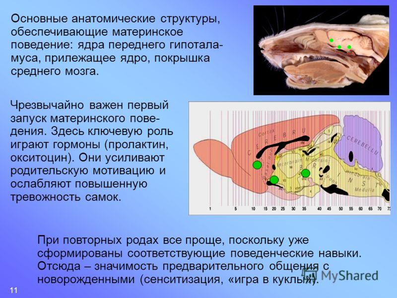 11 Основные анатомические структуры, обеспечивающие материнское поведение: ядра переднего гипотала- муса, прилежащее ядро, покрышка среднего мозга. Чрезвычайно важен первый запуск материнского пове- дения. Здесь ключевую роль играют гормоны (пролакти