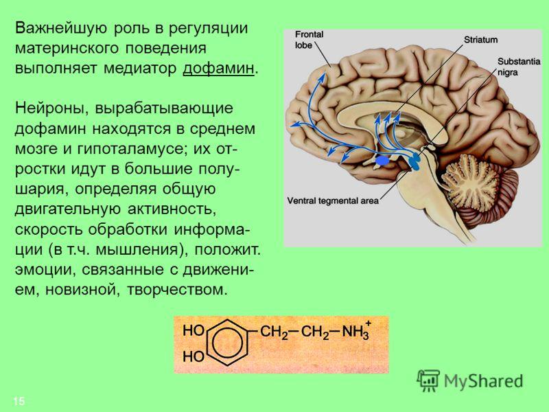 15 Важнейшую роль в регуляции материнского поведения выполняет медиатор дофамин. Нейроны, вырабатывающие дофамин находятся в среднем мозге и гипоталамусе; их от- ростки идут в большие полу- шария, определяя общую двигательную активность, скорость обр