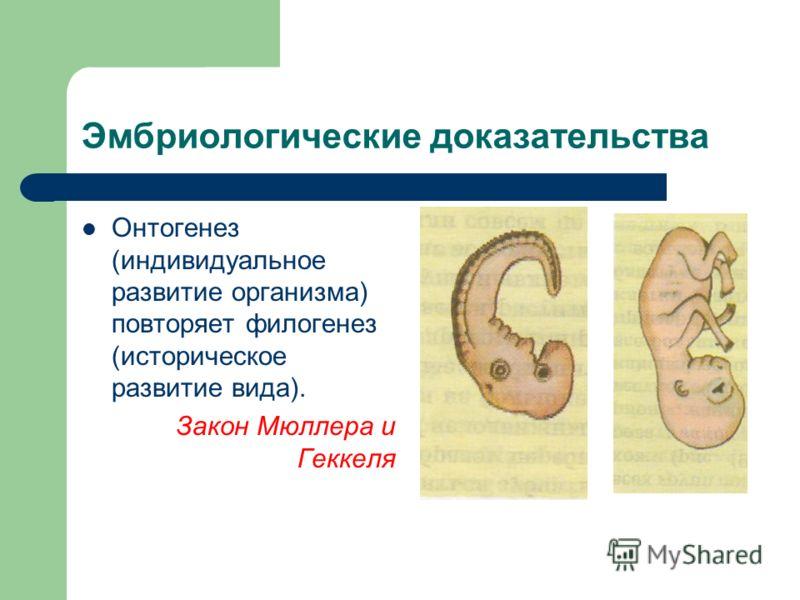 Эмбриологические доказательства Онтогенез (индивидуальное развитие организма) повторяет филогенез (историческое развитие вида). Закон Мюллера и Геккеля