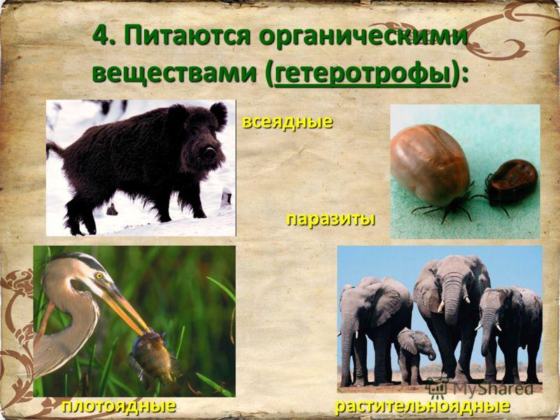 4. Питаются органическими веществами (гетеротрофы): плотоядные всеядные паразиты растительноядные