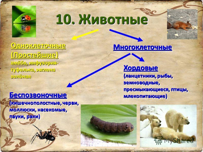 10. Животные Одноклеточные(Простейшие) амёба, инфузория- туфелька, эвглена зелёная МногоклеточныеМногоклеточные Беспозвоночные (кишечнополостные, черви, моллюски, насекомые, пауки, раки) Беспозвоночные Хордовые (ланцетники, рыбы, земноводные, пресмык
