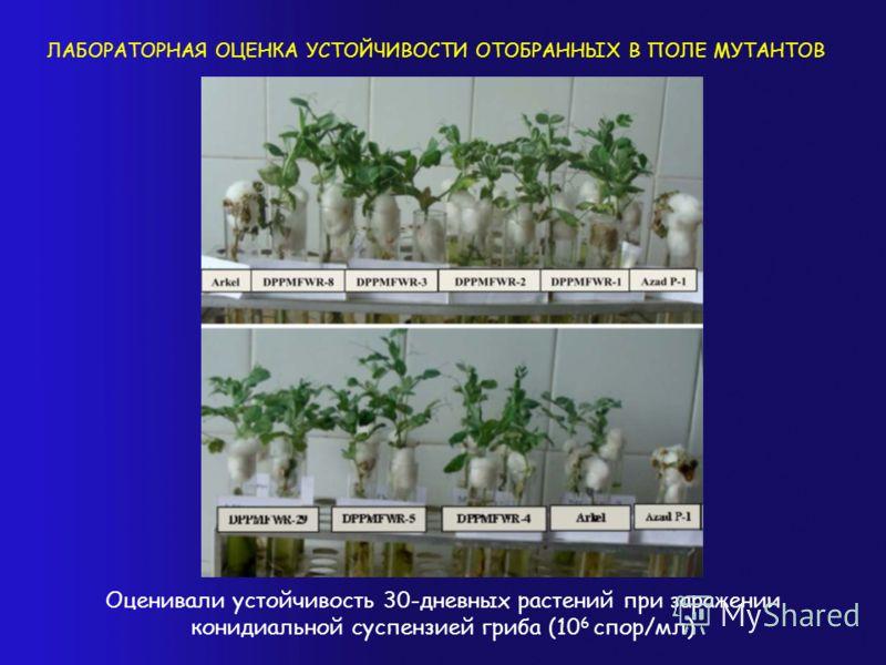 ЛАБОРАТОРНАЯ ОЦЕНКА УСТОЙЧИВОСТИ ОТОБРАННЫХ В ПОЛЕ МУТАНТОВ Оценивали устойчивость 30-дневных растений при заражении конидиальной суспензией гриба (10 6 спор/мл)