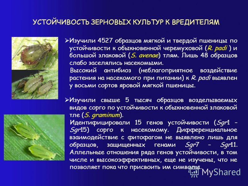 УСТОЙЧИВОСТЬ ЗЕРНОВЫХ КУЛЬТУР К ВРЕДИТЕЛЯМ Изучили 4527 образцов мягкой и твердой пшеницы по устойчивости к обыкновенной черемуховой (R. padi ) и большой злаковой (S. avenae) тлям. Лишь 48 образцов слабо заселялись насекомыми. Высокий антибиоз (небла