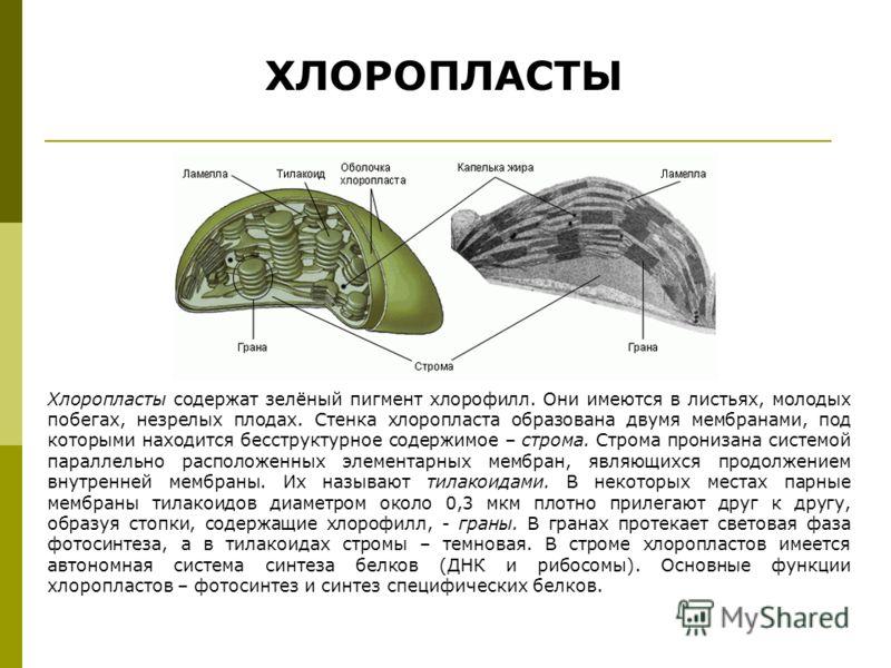 ХЛОРОПЛАСТЫ Хлоропласты содержат зелёный пигмент хлорофилл. Они имеются в листьях, молодых побегах, незрелых плодах. Стенка хлоропласта образована двумя мембранами, под которыми находится бесструктурное содержимое – строма. Строма пронизана системой