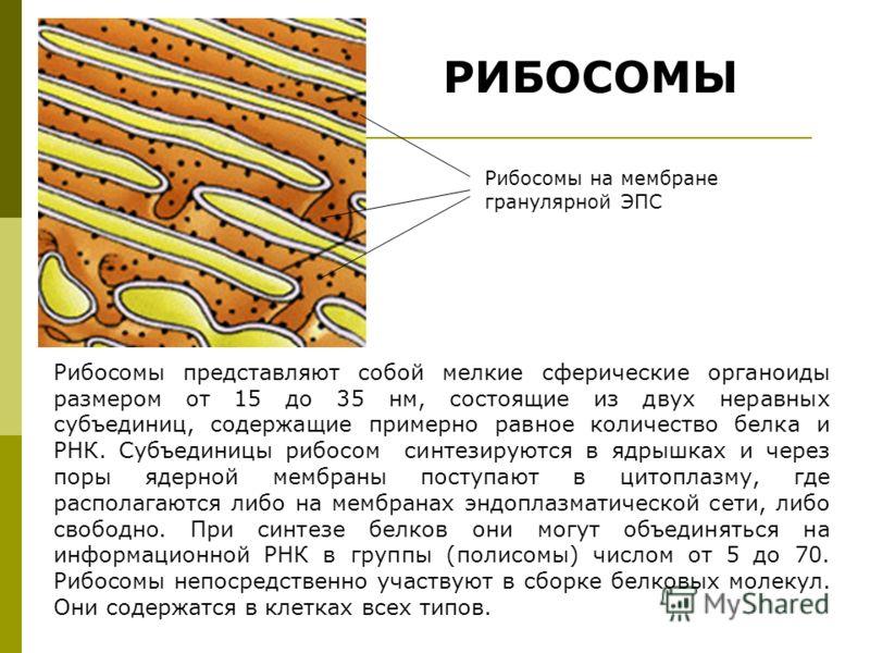 РИБОСОМЫ Рибосомы представляют собой мелкие сферические органоиды размером от 15 до 35 нм, состоящие из двух неравных субъединиц, содержащие примерно равное количество белка и РНК. Субъединицы рибосом синтезируются в ядрышках и через поры ядерной мем
