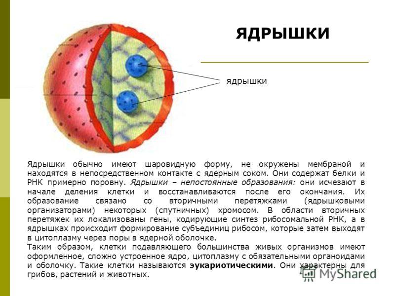 ЯДРЫШКИ Ядрышки обычно имеют шаровидную форму, не окружены мембраной и находятся в непосредственном контакте с ядерным соком. Они содержат белки и РНК примерно поровну. Ядрышки – непостоянные образования: они исчезают в начале деления клетки и восста