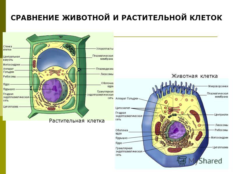 СРАВНЕНИЕ ЖИВОТНОЙ И РАСТИТЕЛЬНОЙ КЛЕТОК Растительная клетка Животная клетка