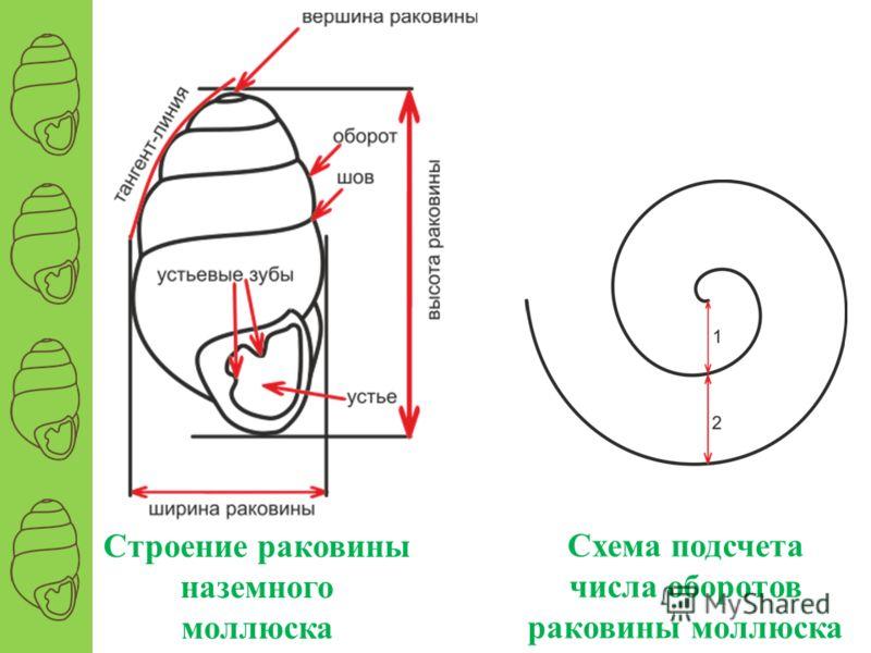 Строение раковины наземного моллюска Схема подсчета числа оборотов раковины моллюска