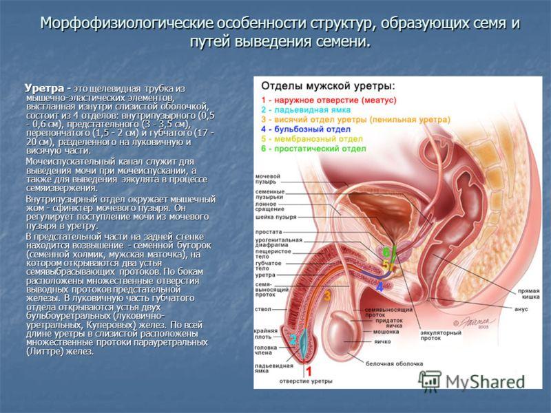 Уретра - это щелевидная трубка из мышечно-эластических элементов, выстланная изнутри слизистой оболочкой, состоит из 4 отделов: внутрипузырного (0,5 - 0,6 см), предстательного (3 - 3,5 см), перепончатого (1,5 - 2 см) и губчатого (17 - 20 см), разделе