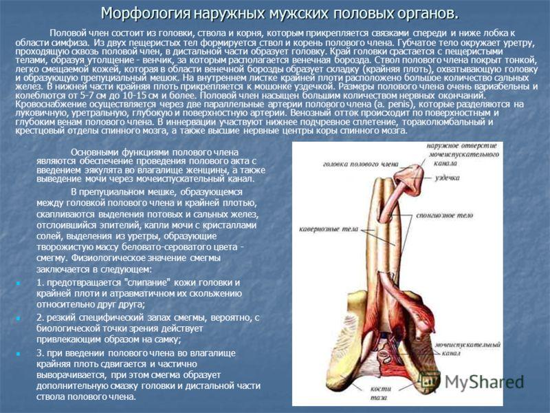 Основы Сексологии Анатомия половой системы