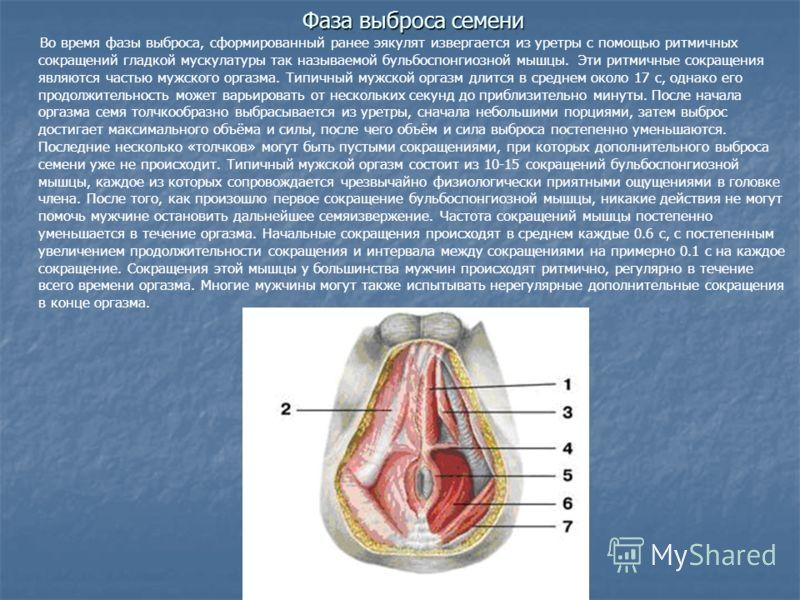 Во время фазы выброса, сформированный ранее эякулят извергается из уретры с помощью ритмичных сокращений гладкой мускулатуры так называемой бульбоспонгиозной мышцы. Эти ритмичные сокращения являются частью мужского оргазма. Типичный мужской оргазм дл